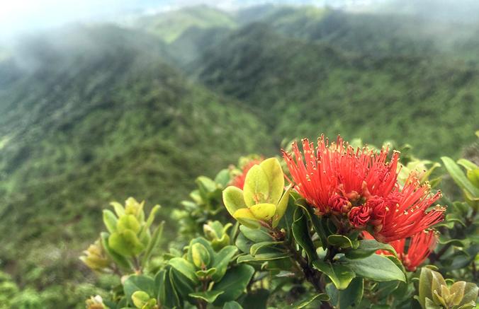 Lyon Arboretum Leads Rapid ʻŌhiʻa Death Seed Banking Initiative