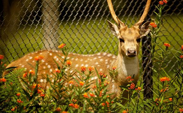 An Axis Deer at Pana`ewa Rainforest Zoo & Gardens. Photography by Baron Sekiya   Hawaii 24/7