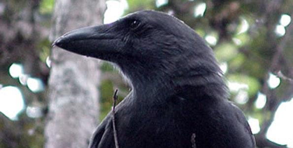Alala, or Hawaiian crow (Photo courtesy of David Ledig | FWS)