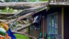 A home in Hawaiian Beaches was crushed by an Albizia tree fallen from Tropical Storm Iselle. Image taken August 21, 2014. Photography by Baron Sekiya | Hawaii 24/7