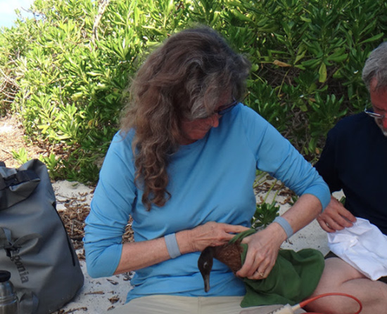 Linda Elliott prepares a Laysan Duck for release on Kure Atoll. (Photo courtesy of The Hawaii Wildlife Center)