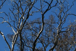Dying Ohia Trees from Rapid Ohia Death (ROD). Photo courtesy of DLNR.