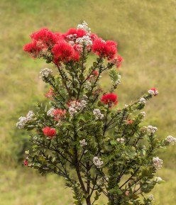 The 'ōhi'a lehua tree is featured during a guided hike in Kahuku on Saturday. NPS Photo/Janice Wei ​