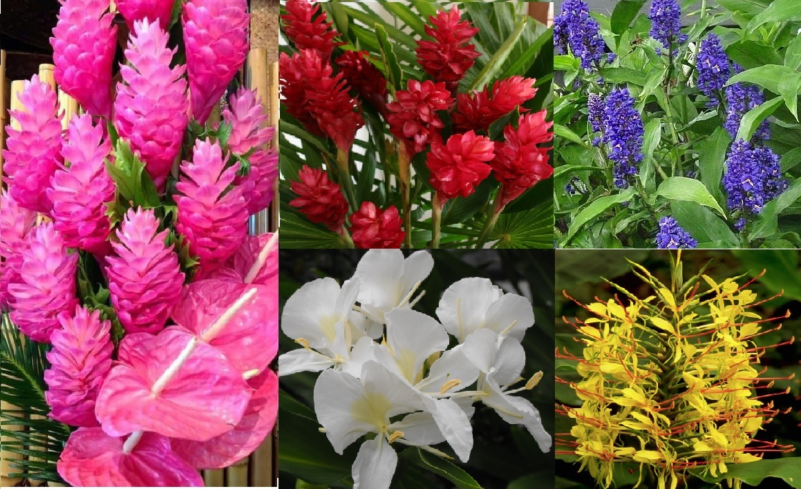 Ginger roots hawaiian collection 5 pack hawaiian flowers free red white yellow pink blue hawaiian ginger white ginger flower hawaiian izmirmasajfo