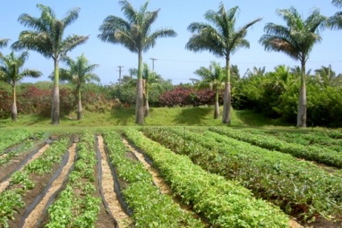 Maui Organic Farms - Garden beds filled with greens.