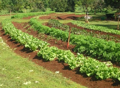 Oahu Organic Farms: Lettuce being grown in semi-circle rows
