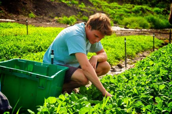 Oahu Organic Farms: young man harvesting greens from field