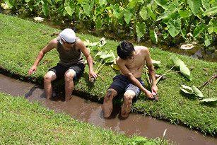 Oahu Organic Farms: two young men working in a Kalo / Taro field