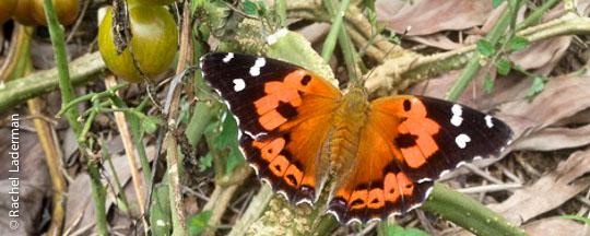 Kamehameha-butterfly1