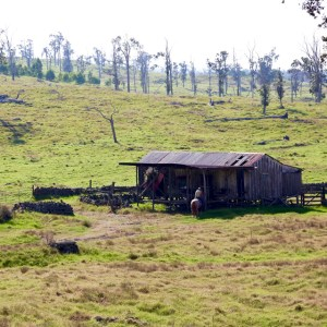 Old wood cabin in pasture with trees