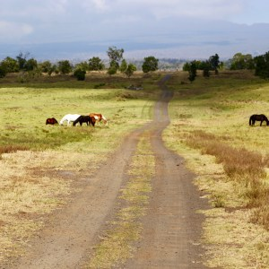 Horses grazing by dirt ranch road