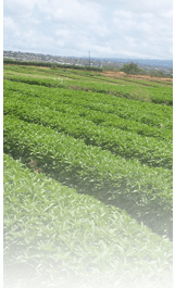 FAT LAW FARM: Hawaii's largest exporter of basil to the mainland United States and Canada.