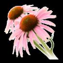 cropped-echiancea-550x413-192x192