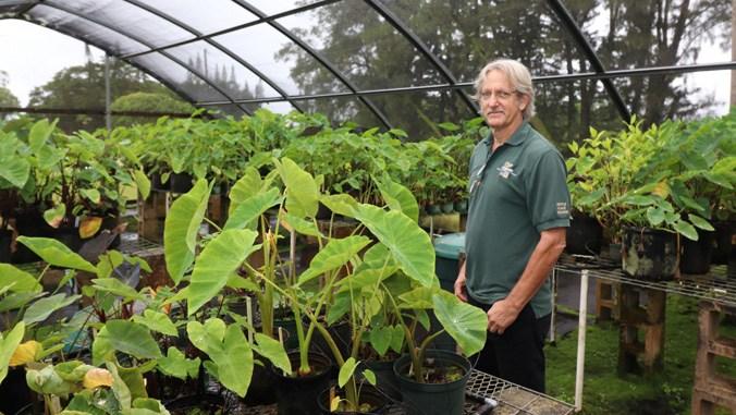 UH boosts Kauai taro industry