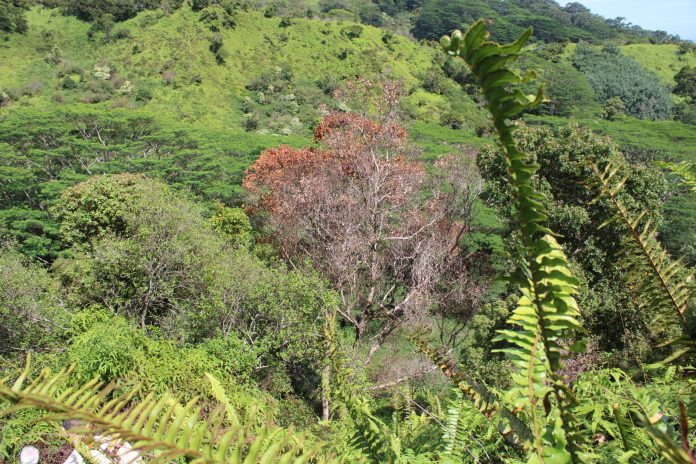 Rapid 'Ōhi'a death found at two new sites on Kauai