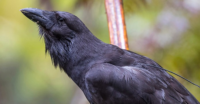 Hawaiian crows headed back to captivity after recent deaths