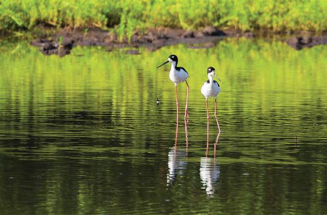 FWS proposes downlisting Hawaiian stilt from endangered to threatened