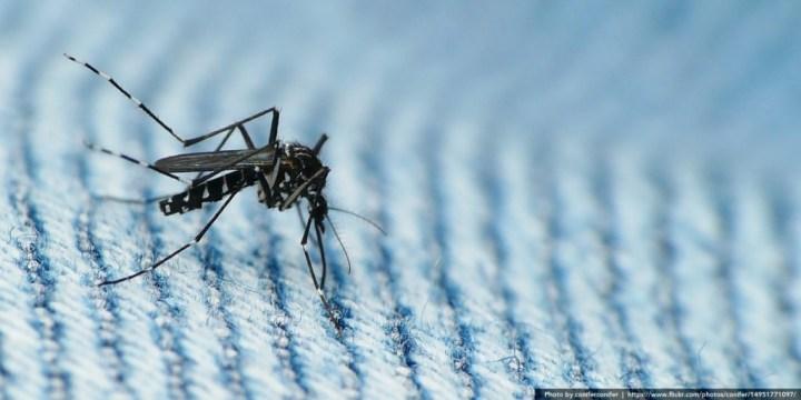 asian-tiger-mosquito-flickr-coniferconifer