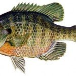 Everglades Bluegill