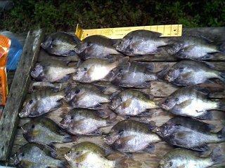 Okeechobee Bluegill Fishing