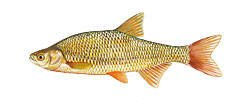 Golden Shiner Fishing