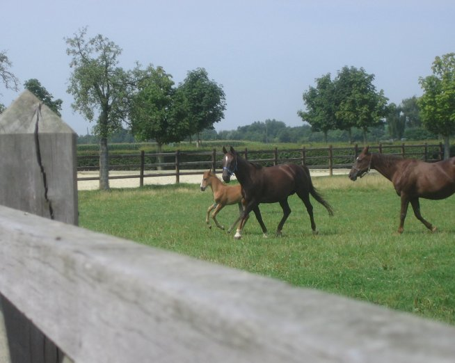 Dressage Prospect Foals at Isabell Worth's farm