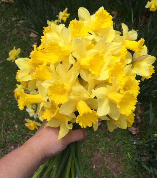 A bouquet of naturalized daffodils cut from around an old homestead