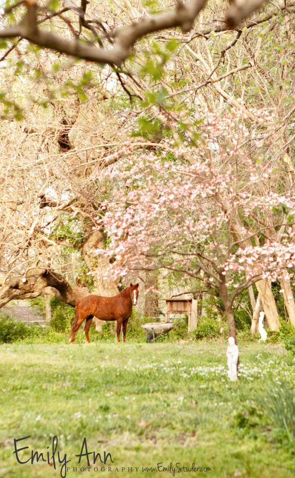 Baskir Curly Mare grazing under dogwood blossoms