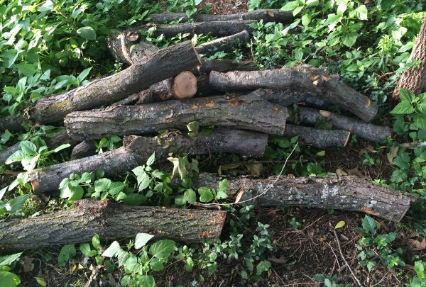 logs harvested from fallen tree