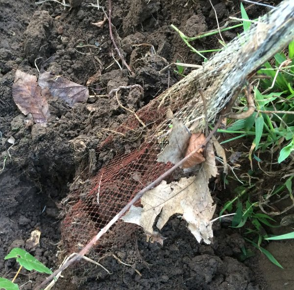 storing daffodil bulbs for easy dig up from heeled in plot