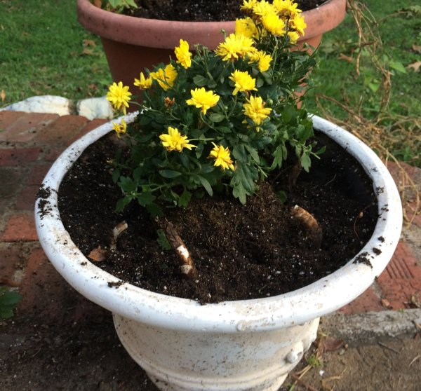 companion planting daffodils and mums