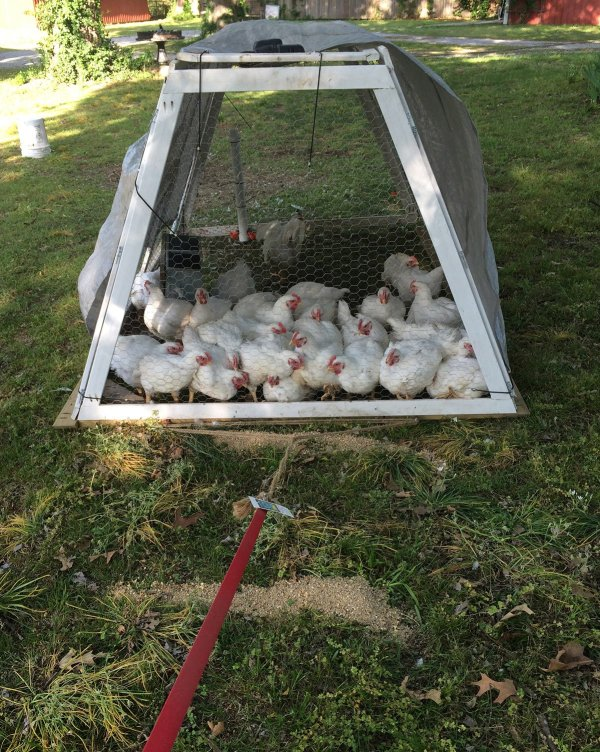 Cornish Cross Chickens in Lightweight DIY Chicken Tractor - Hawk-Hill.com