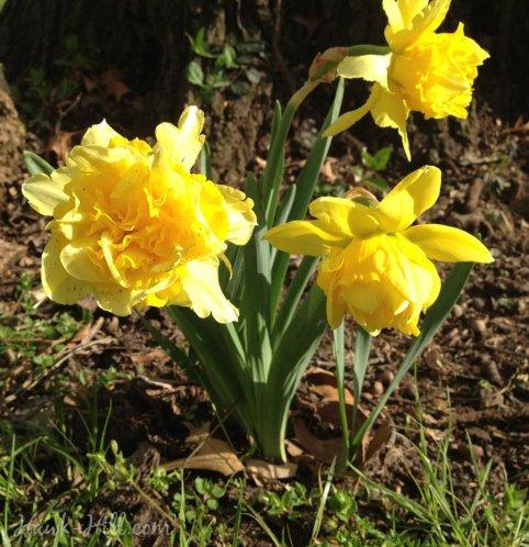 hh_blog_doubledaffodils