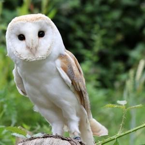 Barn Owl Experience
