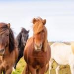 Icelandic ponies in Iceland
