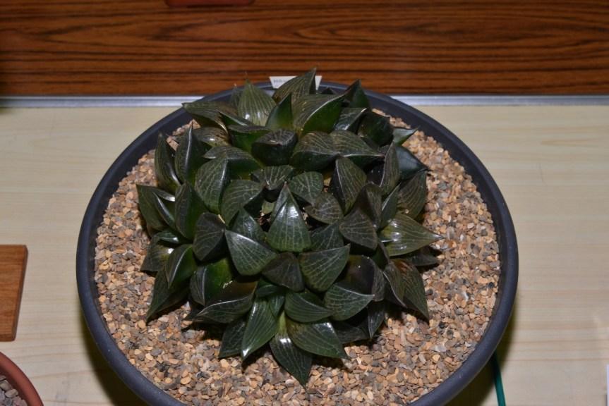 Class 69 - Haworthia emelyae var. comptoniana
