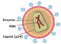 וירוס האיידס HIV. איור מתוך אתר פרס נובל