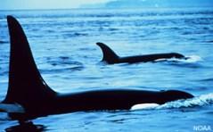 לווייתן קטלן. צילום: NOAA