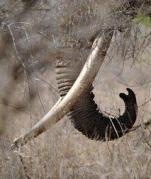 חט של פיל. חידוש המסחר בשנהב