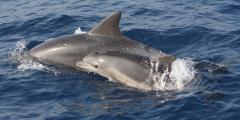 דולפינה וגור דולפינים במימי הים התיכון. צילום: אוניברסיטת חיפה