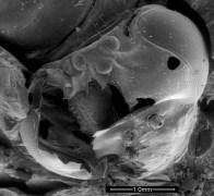 צילום מיקרוסקופ של ראש דבורה עמלה מתוך הכוורת המקראית (צילום: ויטאלי גוטקין)