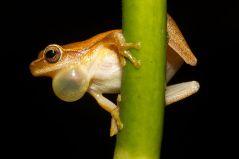 זכר צפרדע מהמין Dendropsophus_microcephalus בעת קריאתו. מתוך ויקיפדיה