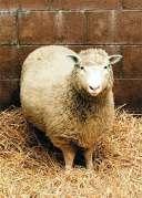 הכבשה דולי. מתוך ויקיפדיה