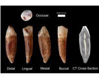 שיני האדם המודרני הותיק ביותר שהתגלו במערת קסם. צילום:ישראל הרשקוביץ, אוניברסיטת תל-אביב