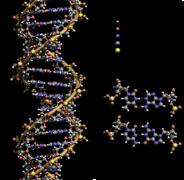 מבנה ה-DNA. מתוך ויקיפדיה