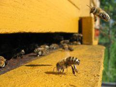 דבורי דבש נכנסים לכוורת. מתוך ויקיפדיה