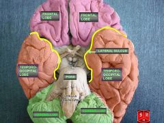 איזורי המוח השונים. מתוך ויקיפדיה. איור: Anatomist90