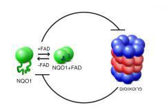 יחסי הגומלין בין הפרוטאוסום לבין NQO1 מבוססים על עיכוב הדדי: הפרוטאוסום מפרק אנזימי NQO1 חסרי מבנה (שאינם קשורים ל-FAD), ואילו האנזים, כשהוא קשור ל-FAD, מונע מהפרוטאוסום לפרק חלבונים אחרים – כולל אותו עצמו