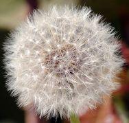 פרח שן הארי. מתוך ויקיפדיה