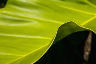 עלה של עץ ה-Medang. צילום: האוניברסיטה הלאומית האוסטרלית